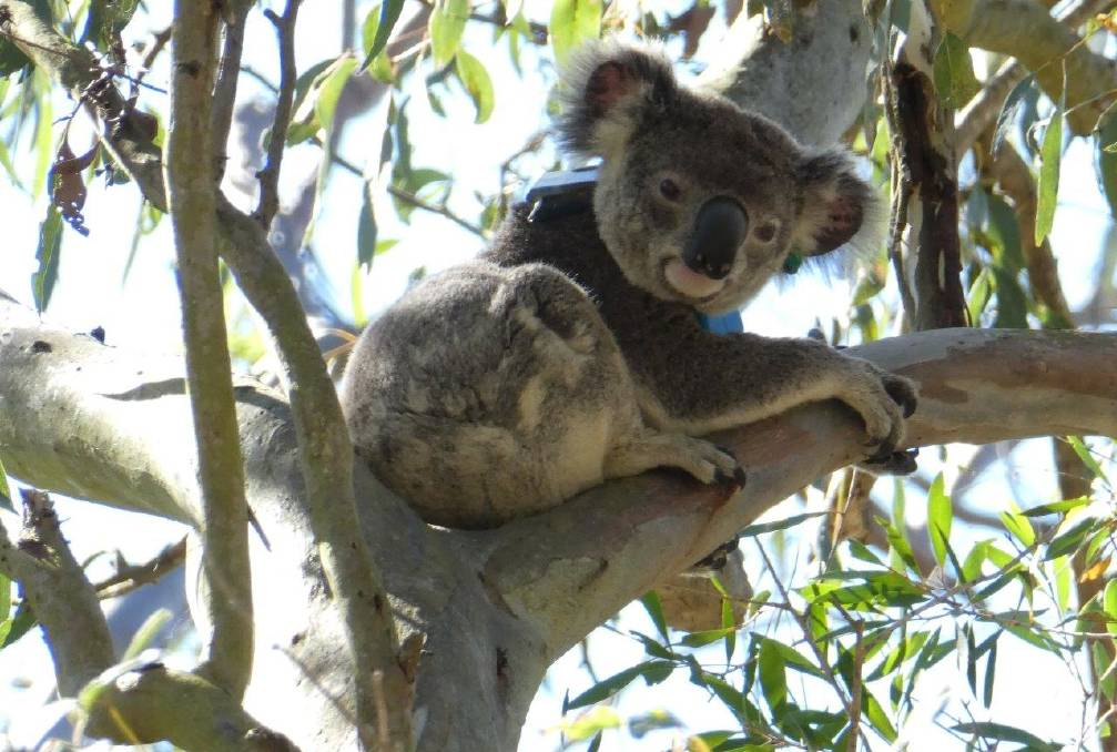 KOALA SEARCH: Have you seen this young man or his radio collar. He also has a green ear tag.