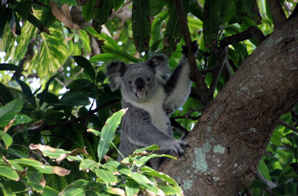 SAVING KOALAS: Choices are to be made about saving koalas and using them as an eco-marketing tool or simply developing as much as possible, warns a leading scientist.