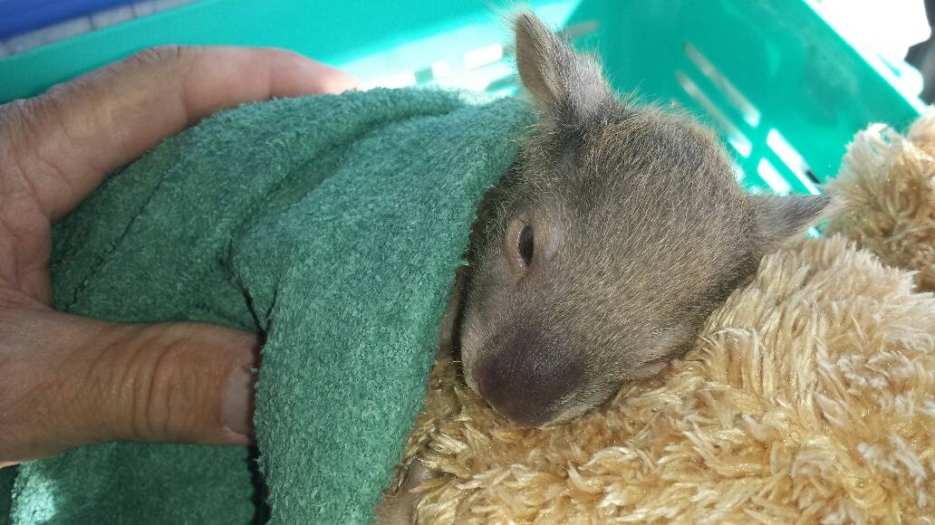 ORPHAN JOEY: An orphaned koala joey clings on to a surrogate mum. They are vulnerable at this age.