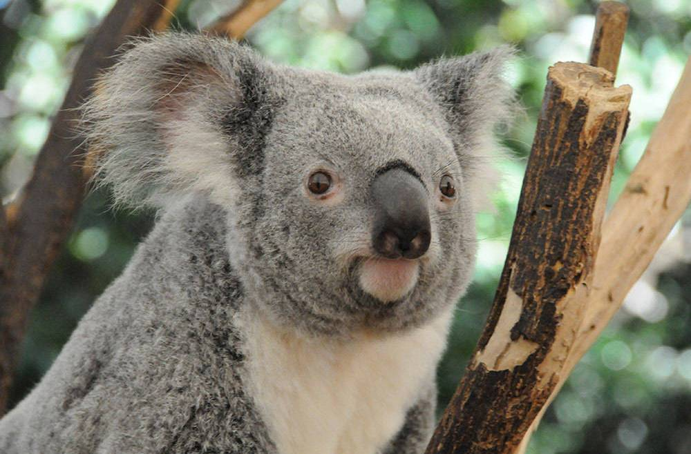 SPECIES DECLINE: More and faster roads mean more deaths of koalas by cars.